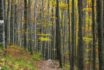 Tree trunks in autumn forest in Tosco Emiliano Apennines, Apuan Alps, Lizzano in Belvedere, Emilia Romagna, Italy — Stock Photo