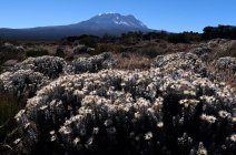Сушать польових квітів на полі з Кіліманджаро на фоні, Танзанія, Східна Африка, Африка — стокове фото