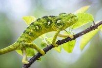Caméléon géant malgache vert perché sur branche d'arbre, réserve communautaire d'Anja, région de Haute Matsiatra, Madagascar, Afrique — Photo de stock