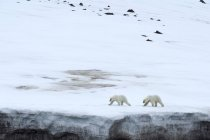 Two polar bears walking on glacier in Bjornsundet, Spitsbergen, Norway, Europe — Photo de stock