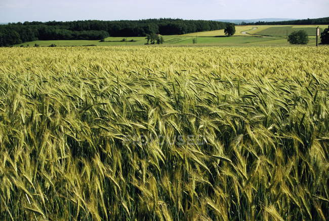 Grain field, agricultural landscape — Stock Photo
