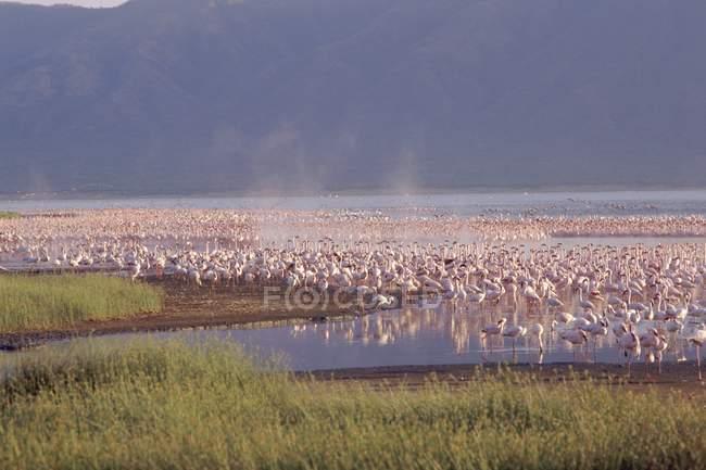 Flamingos, Lake Bogoria — Stock Photo