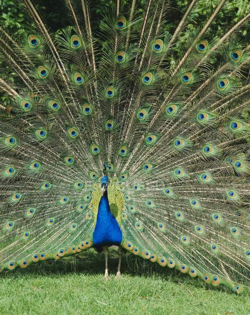 peacock essay in marathi The peacock is a very beautiful bird it is found in most parts of india peacock is our national bird peacocks are of bright greenish-blue colour.