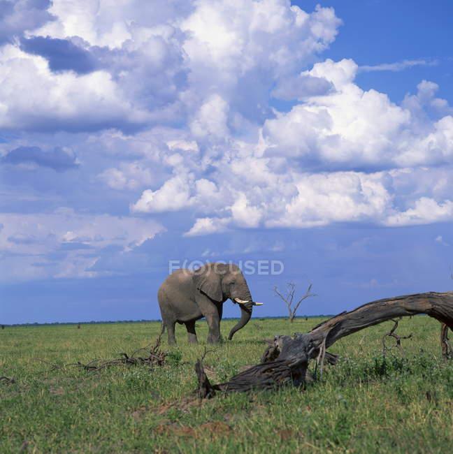 Elefante no Parque Nacional de chobe — Fotografia de Stock