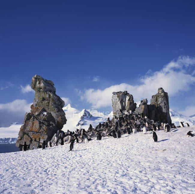 Manchots jugulaire sur neige — Photo de stock