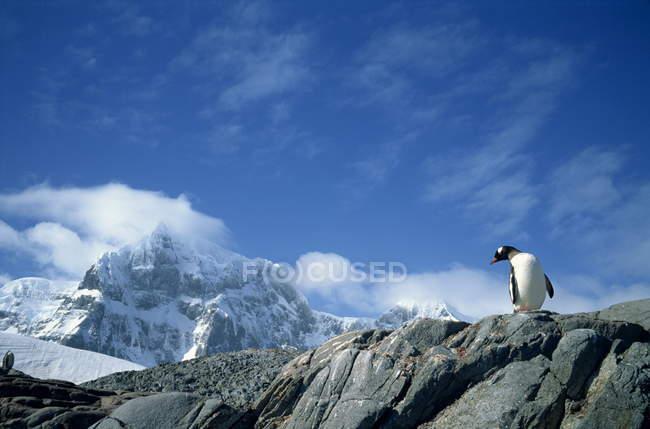 Manchot papou, Antarctique — Photo de stock