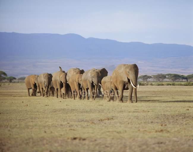 Група слонів, включаючи Янг — стокове фото