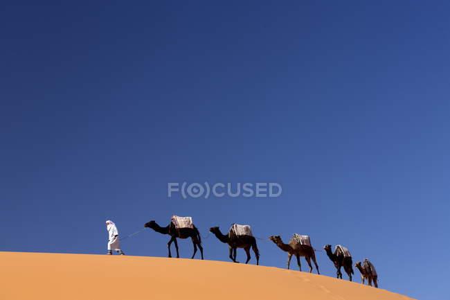 Berber Mann an der Spitze Zug der Kamele — Stockfoto