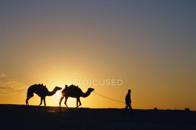 Camels and guide, Zaafrane, Tunisia — Stock Photo