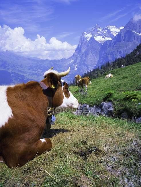 Kühe Alpiglen, Grindelwald — Stockfoto