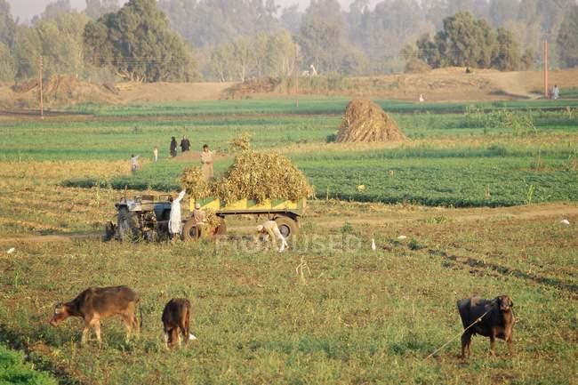 JEUNESAGRICULTEURS récolte dans les champs près de Tanta — Photo de stock