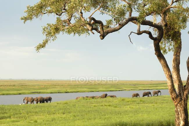 Grupo de elefantes tomando banho no Rio — Fotografia de Stock