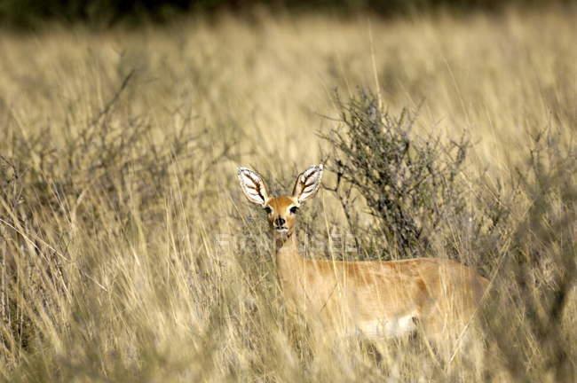 Steenbok, Kgalagadi National Park — Stockfoto