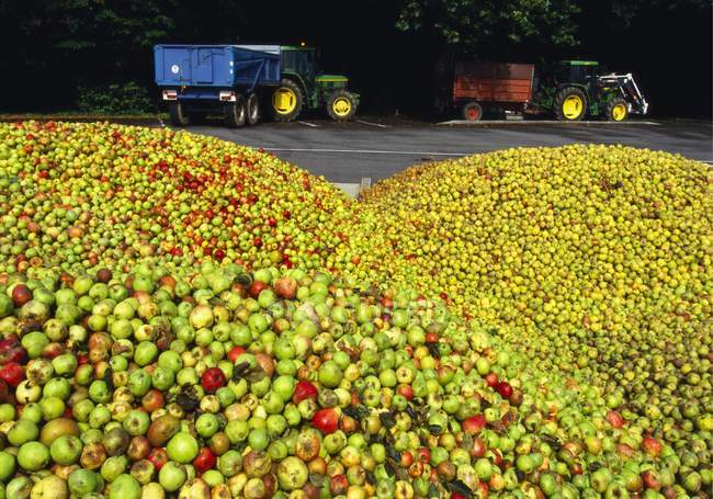 Large Group of Harvested Apples — Stock Photo