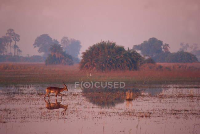 Scène tranquille d'un unique lechwe rouge — Photo de stock