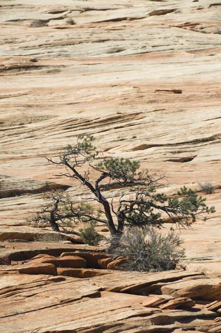 Árvore de arbusto solitário — Fotografia de Stock