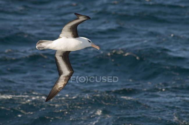 Albatross vicino alle Isole Falkland — Foto stock