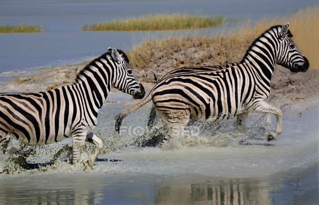Зебр проходить через води — стокове фото