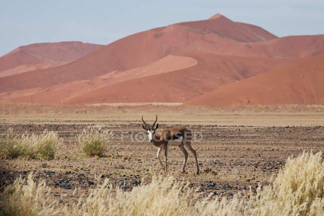 Springbok in Namib Desert at Sossusvlei — Stock Photo