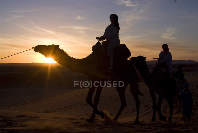 Dromedaries taking tourists on sunset ride — Stock Photo