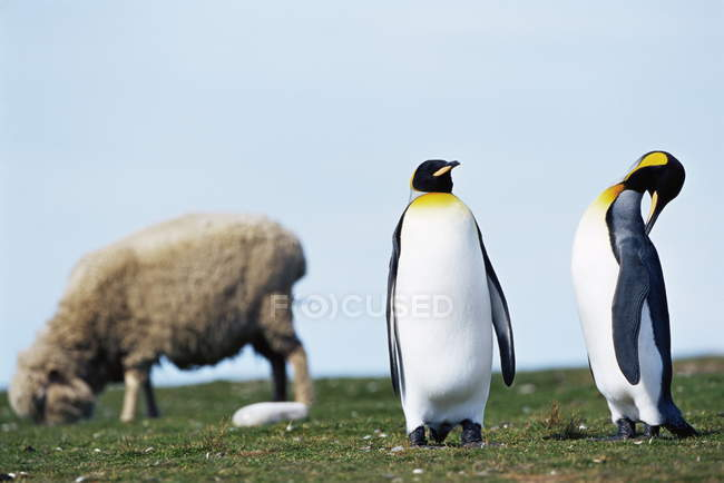Король пингвины и овцы — стоковое фото