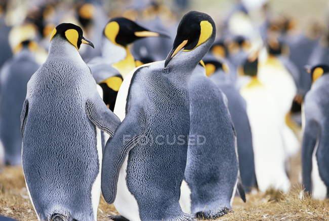 Gregge di pinguini del re — Foto stock