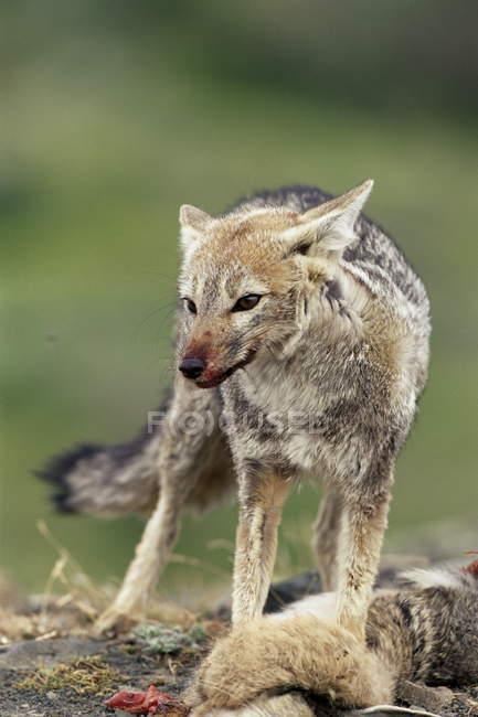 Patagonische Grey fox verteidigenden Beute — Stockfoto