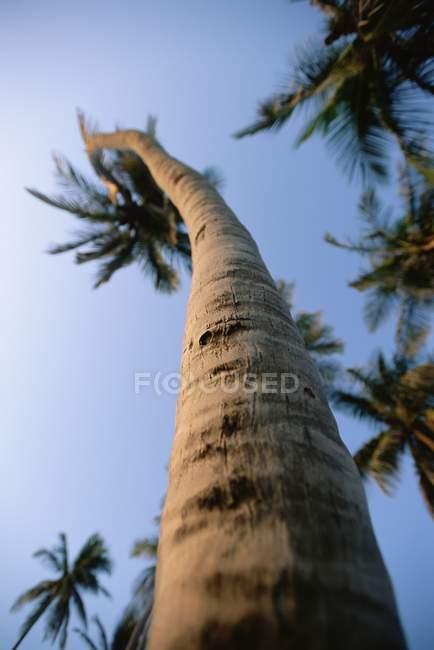 Palmeira com tronco contorcido — Fotografia de Stock