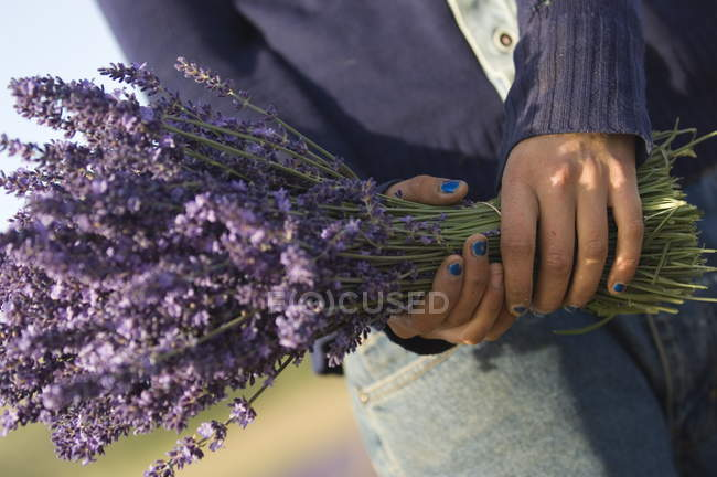 Lavender bunch in hands — Stock Photo