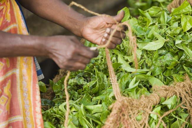 Pianta di tè lavoratore guarigione — Foto stock