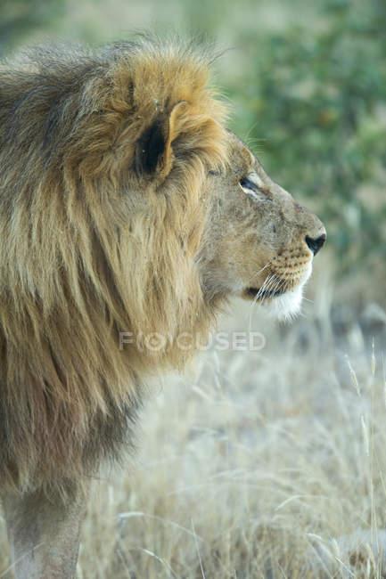 Leone maschio nella giungla — Foto stock