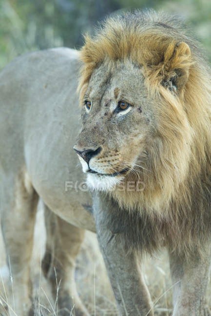 Лев стоячи в дикий ділянку — стокове фото