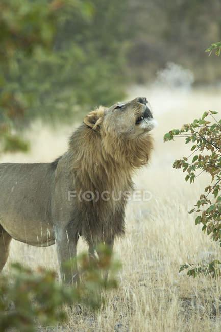 Лев гарчав у джунглі — стокове фото