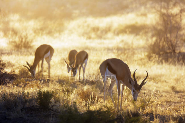 Springboks pastando en campo - foto de stock