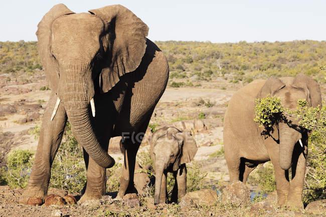 African elephants walking at Kruger National Park — Stock Photo