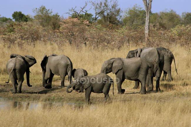 Bebendo no poço de elefantes africanos — Fotografia de Stock