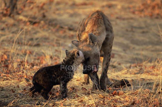 Cabeça a cabeça com outra hiena-malhada — Fotografia de Stock
