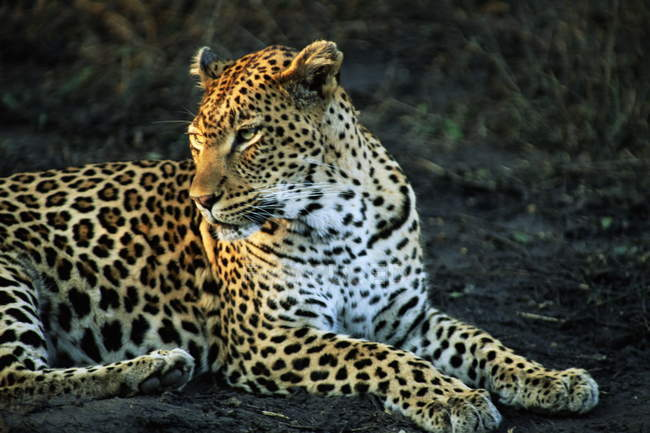 Leopardo yazca sobre el suelo - foto de stock
