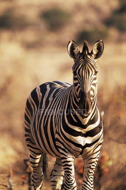 Зебра стоячи на полі — стокове фото
