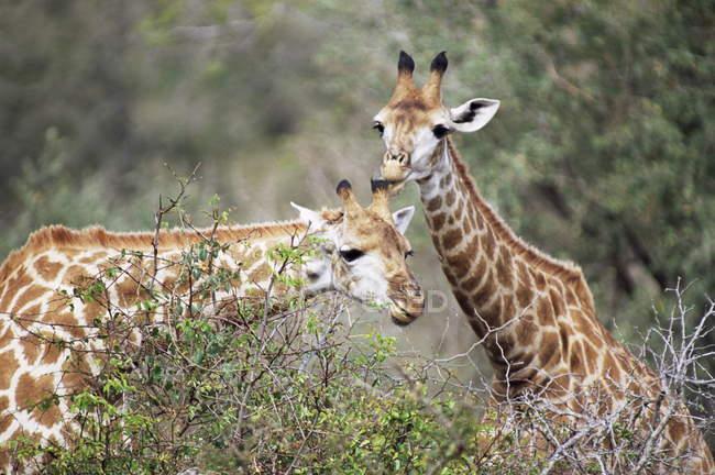 Жирафы, стоя возле каждого ругой — стоковое фото