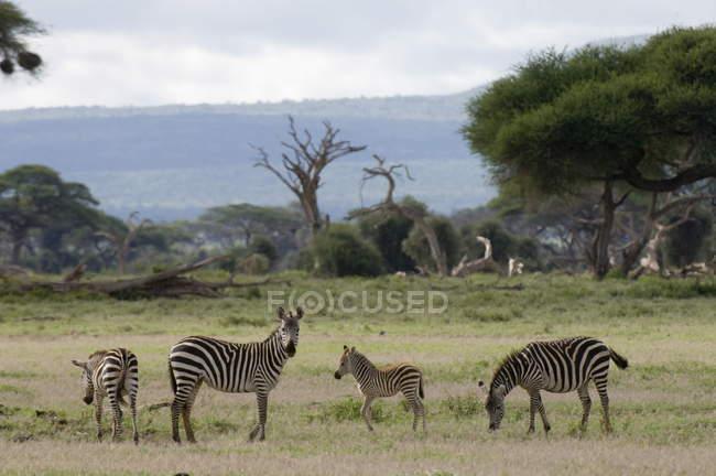 Branco di zebre nel campo verde — Foto stock