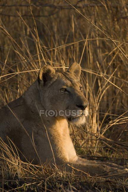 tall grass field path lioness lying in tallgrass field stock photo 141145862