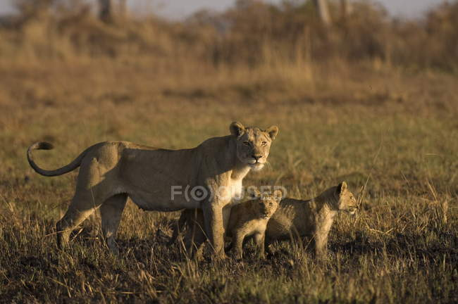 Lioness and cubs standing in field — Stock Photo