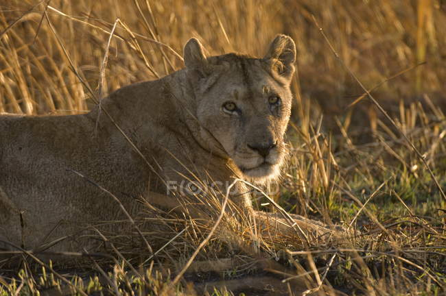 tall grass field forest lioness lying in tallgrass field stock photo kafue national park color