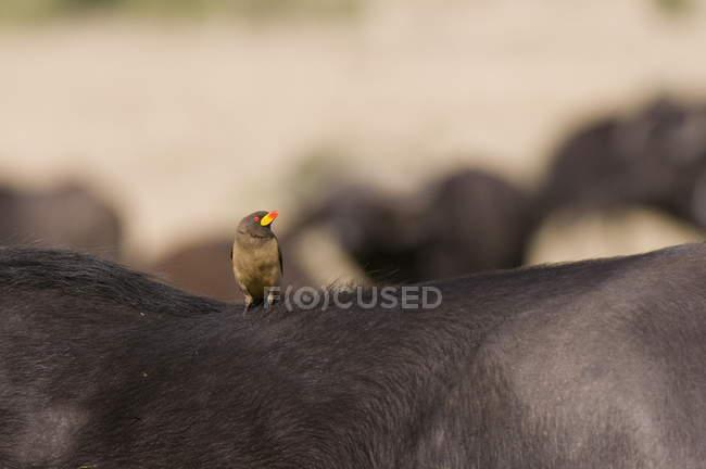 Oxpecker sulla parte posteriore del capo buffalo — Foto stock