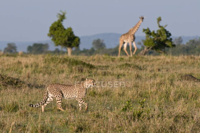 Cheetah and Masai giraffe — Stock Photo