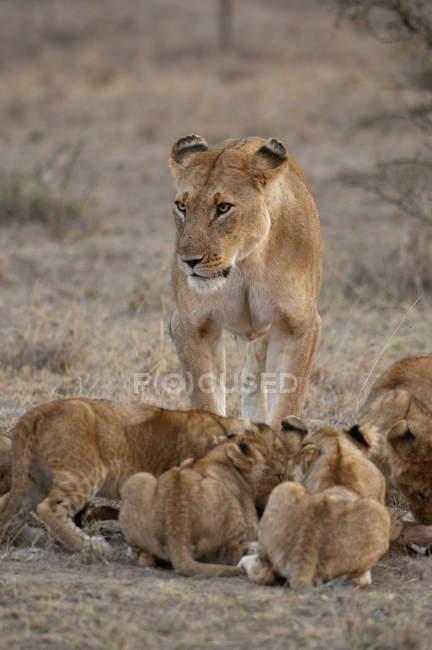 Cuccioli e Leone femminile — Foto stock