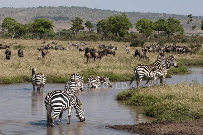 Branco di zebre al posto dell'acqua — Foto stock