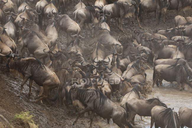 Mandria di GNU in fiume sporco — Foto stock