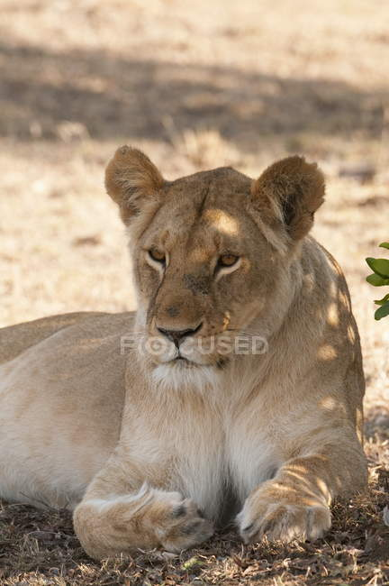 Lioness lying on ground — Stock Photo